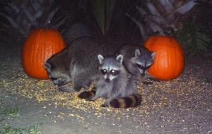 Raccoons and Pumpkins 1