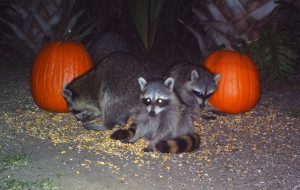 Raccoons and Pumpkins 1