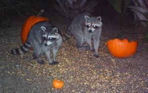 Raccoons and Pumpkins 5