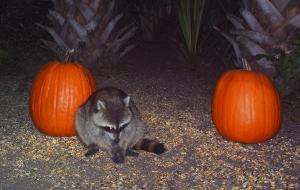 Raccoons and Pumpkins 2