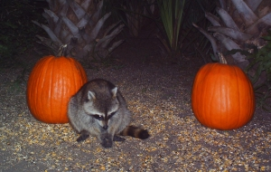Raccoons and Pumpkins 2