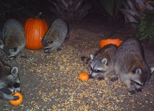 Raccoons and Pumpkins 6