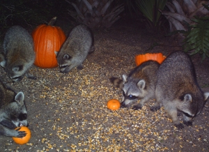 Raccoons and Pumpkins 6
