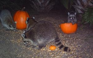 Raccoons and Pumpkins 4