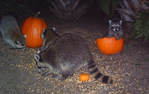 Raccoons and Pumpkins 4