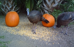 Turkeys and Pumpkins 3