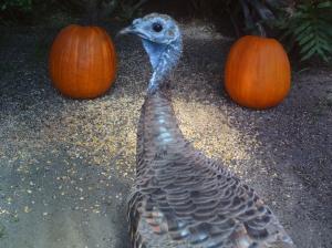 Turkeys and Pumpkins 4
