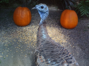 Turkeys and Pumpkins 4