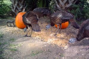 Turkeys and Pumpkins 1