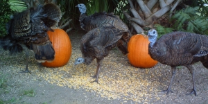 Turkeys and Pumpkins 2