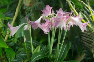 Pink Tropical Lily (Amaryllis species)