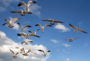 Seagulls Flying Overhead