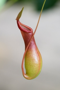 Pitcher Plant (Monkey Cup)