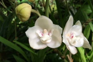 """Dove or Holy Ghost Orchid (Peristeria elata).  Endangered in Wild; National Flower of Panama.  """"Bird"""" is in Center of Flower."""