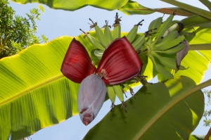 Banana Flower with Fruit