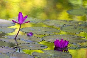 Beautiful Green Reflection on Waterlily Pond