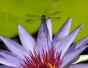Blue Skimmer Dragonfly on Purple Waterlily