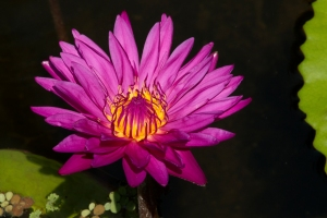 Dark Pink Waterlily with Yellow Center