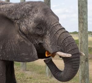 Elephant Eating a Pumpkin