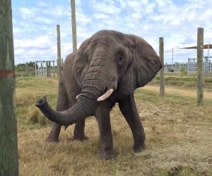 Elephant Trunk in Air