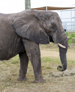 Elephant Picking Up Grass with Trunk