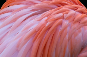 Flamingo's Dark Pink Feathers