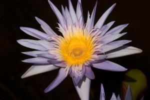 Frilly Lavendar Waterlily