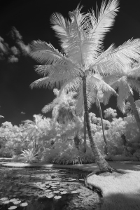 Infrared Image of Coconut Palm