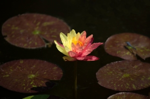 Mutated Bicolor Waterlily (yellow and peach)