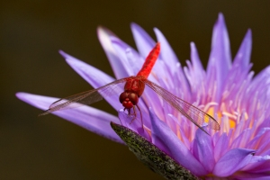 Red Skimmer Dragonfly on Purple Waterlily