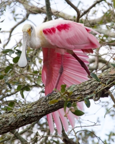 Spoonbill Wing Stretch
