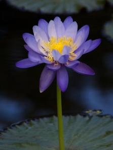 Tall Purple Waterlily