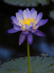 Tall Purple Waterlily