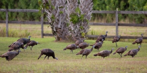 Flock of Wild Turkeys in Our Backyard