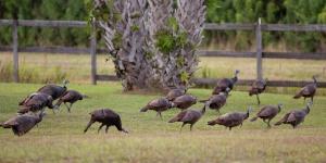 Flock of Wild Turkeys in Our Backyard