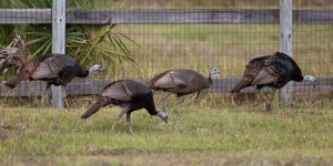 Four Wild Turkeys Along Fence