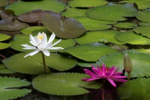 White and Pink Waterlilies Together