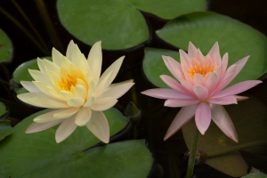Yellow and Pink Waterlilies Together