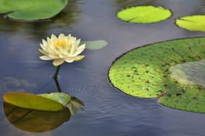 Yellow Waterlily Beside Textured Leaf
