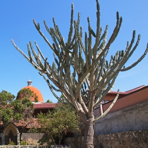 Cactus and Dome in Background of New Mission San Juan Capistrano