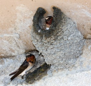 Cliff Swallow Pair at Mud Nest