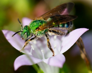 Green Bee on Large Flower Pusley