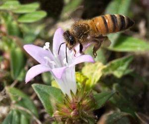 Honeybee Flying to Large Flower Pusley