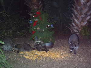 Raccoons Lounging by Tree