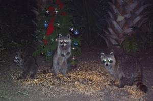 Raccoon Family and Tree