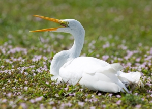 "Great Egret Sitting in Field of Pink Florida ""Snow"""