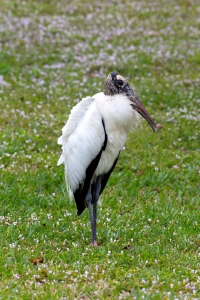 """Wood Stork Standing in Field of Pink Florida """"Snow"""""""
