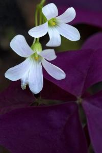 Purple Shamrock Flowers (Love Plant)
