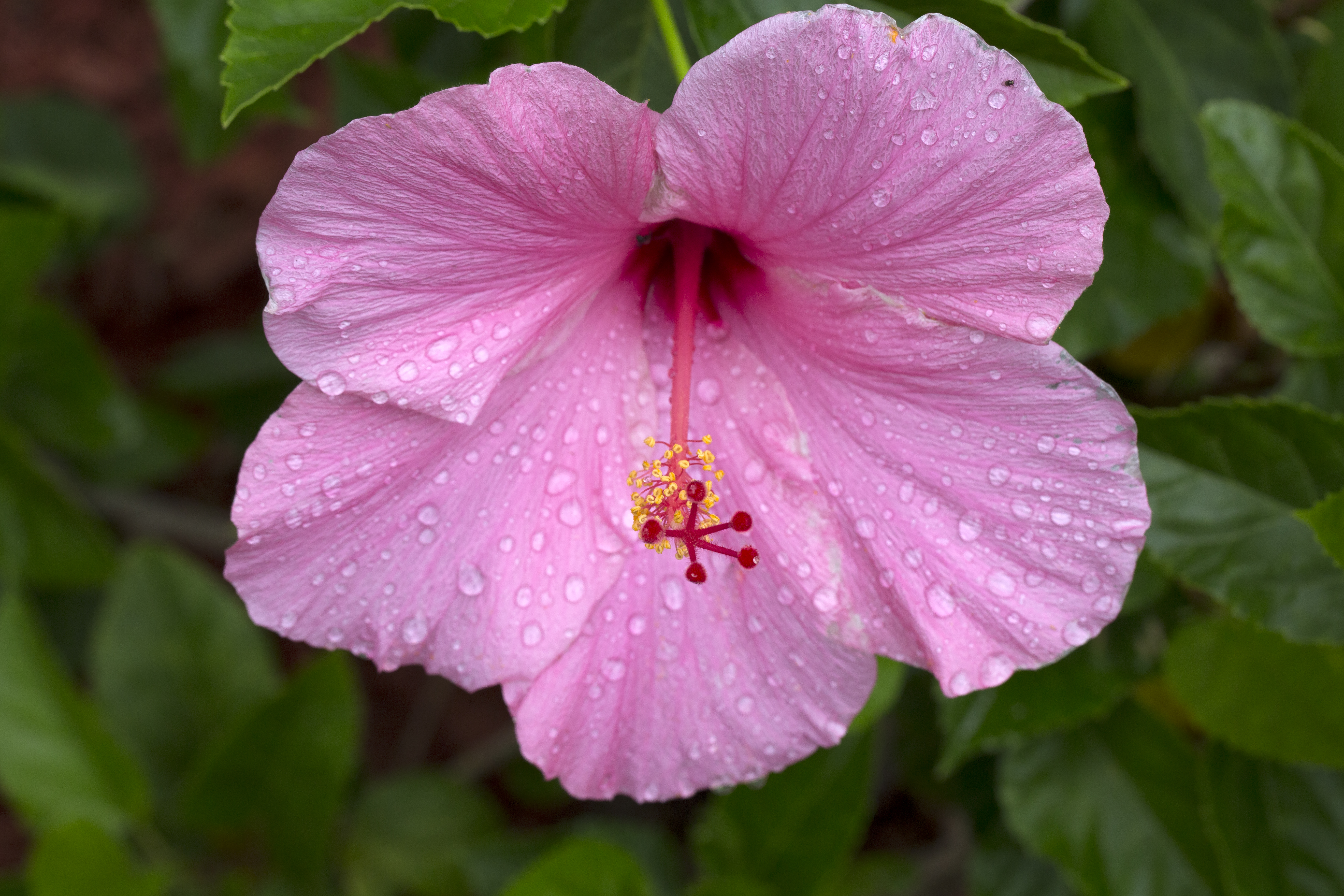 Pink Hibiscus With Rain Drops Naturetime