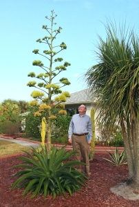 Richard Looking up at 16 Foot Tall Agave Flower Stalk (Nov. 6, 2014)